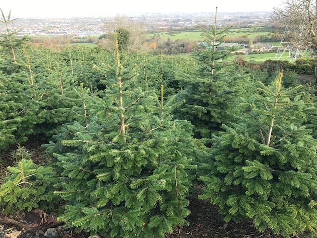 Killakee Christmas Tree Farm